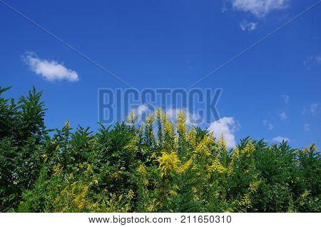 Canada goldenrod is growing and spreads pollen in summer.