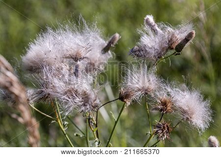 Fuzzy plants in a field in Minnesota