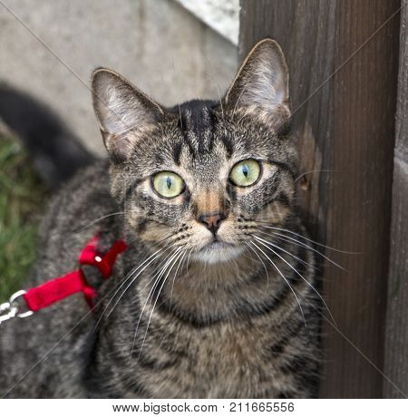 A domestic cat on a leash staring intently at the camera.