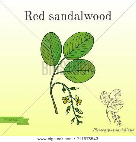 Red sandalwood branch. Hand drawn botanical vector illustration