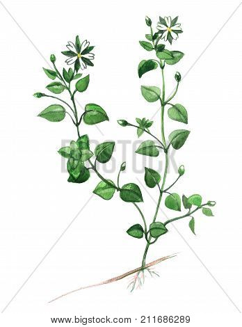 Chickweed plant food on a white background poster