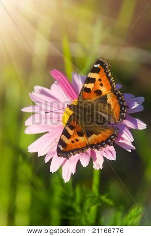 Tortoiseshell Butterfly On Marigold Flower