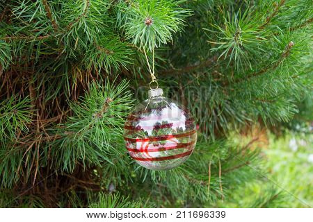 Transparent Christmas Ball With Red Stripes On Fluffy Pine Branches. Background Of Real Alive Pine T