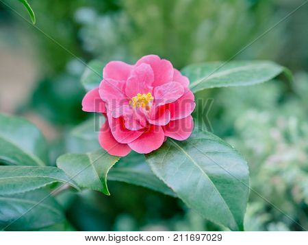 Camellia japonica red flower. Single bud with green leaves