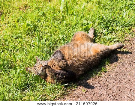 Stray Cat Lying On The Grass Outside