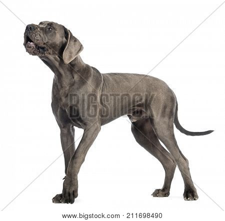 Side view of a Great Dane dog, 10 months old, barking in front of white background