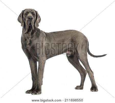Side view of a Great Dane dog, 10 months old, in front of white background