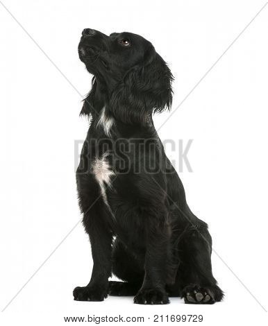 Working Cocker Spaniel dog sitting and looking up against white background
