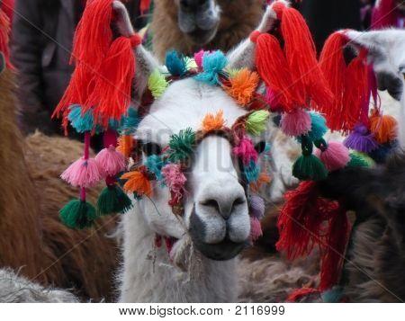 Llama In Andean Peru