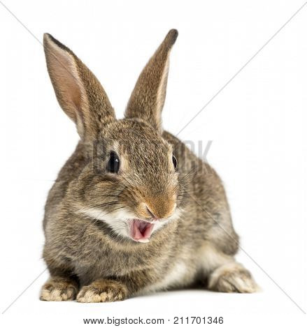 European rabbit or common rabbit smiling, 2 months old, Oryctolagus cuniculus against white background