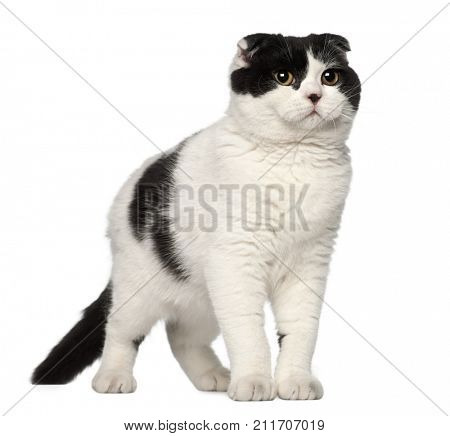 Scottish Fold cat, 6 months old, against white background