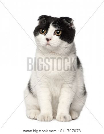 Scottish Fold cat, 6 months old, sitting against white background