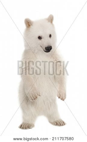 Polar bear cub, Ursus maritimus, 6 months old, portrait against white background