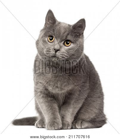 British Shorthair cat looking away, 7 months old against white background