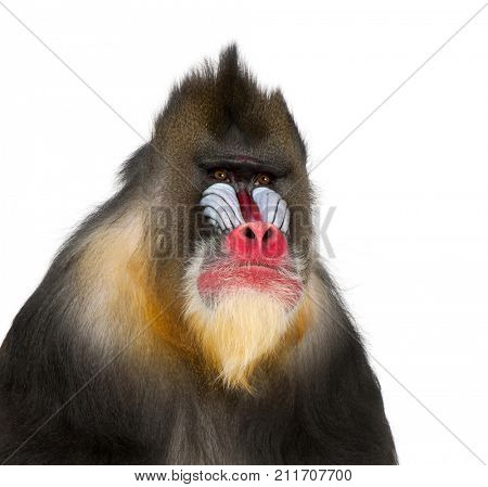 Mandrill - Mandrillus sphinx (22 years old) is a primate of the Old World monkey