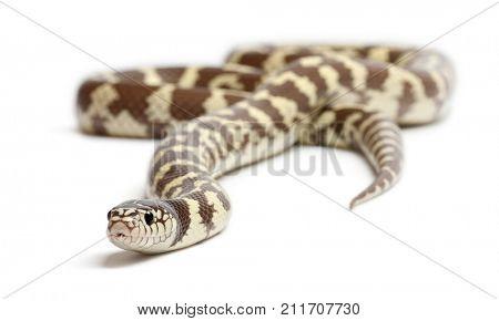 Banana eastern kingsnake or common kingsnake, Lampropeltis getula californiae, in front of white background,  snake