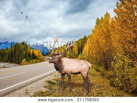 Deer with branched horns near the road. Travel to the Rockies of Canada. The road 93