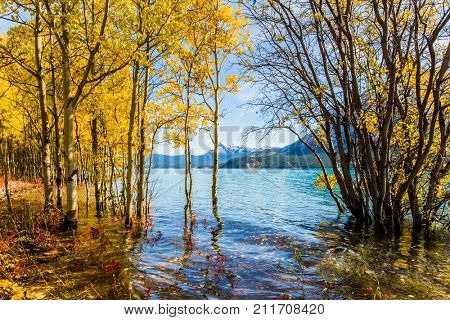 The flooded coastal birchwoods. Picturesque Abraham Lake in a flood. Journey to the Golden Autumn in Rocky Mountains. The concept of ecological and active tourism