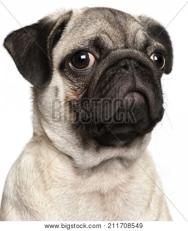 Close-up of Pug puppy, 3 months old, in front of white background