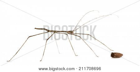 Stick insect, Baby Orxine Sp and his egg, 7 hours old, in front of white background