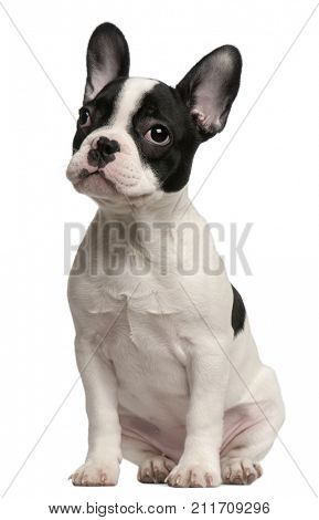 French Bulldog puppy, 3 and a half months old, sitting in front of white background