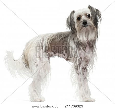 Chinese Crested Dog, 11 months old, standing in front of white background