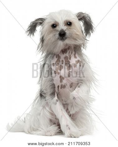 Chinese Crested Dog with windblown hair, 11 months old, sitting in front of white background