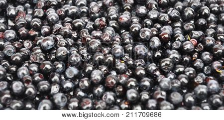 Close up on Blueberry with background. Vaccinium myrtillus commonly called bilberry huckleberry or European blueberry.