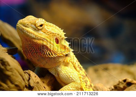 bearded dragon sleeping on a wooden, reptile