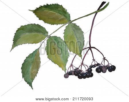 Elderberry watercolor illustration in hand-drawn style. Black tiny berries for decoration