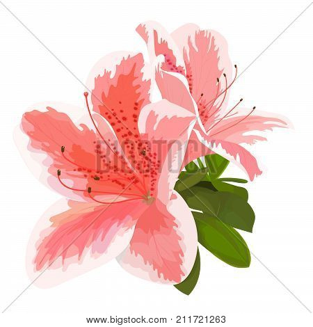 Vector illustration of two delicate pink and white flower bud of rhododendron bloom on a branch. Beautiful Azalea on white background