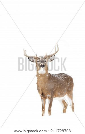 White-tailed deer buck in the falling snow