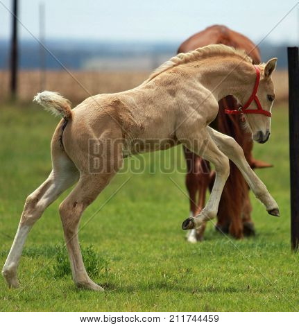 Young palomino colt foal jumping with joy