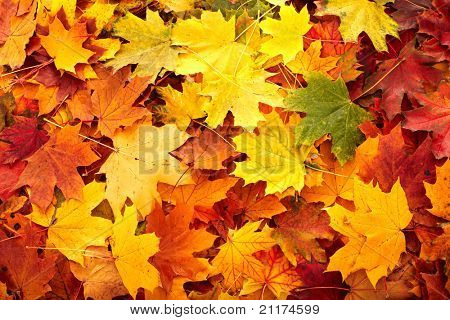 Background group autumn orange leaf. Outdoor.