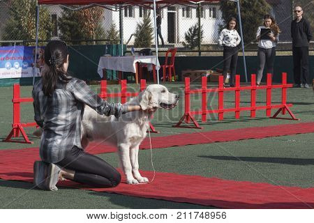 A young girl a handler in a ring raises a golden retriever. Tashkent Uzbekistan. International Dog Show Oltin It October 15 2017