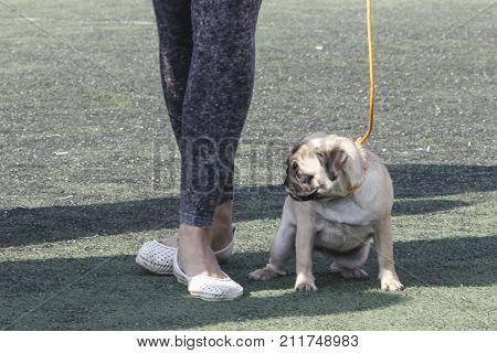 Dog pug is a gentle disposition cheerfulness and a very peculiar appearance. Tashkent Uzbekistan. International Dog Show Oltin It October 15 2017