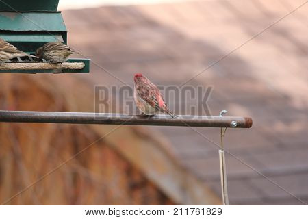 Male house finch (Carpodacus mexicanus) on a bird feeder arm.