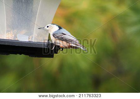 White-breasted nuthatch on a bird feeder. (Sitta carolinensis).