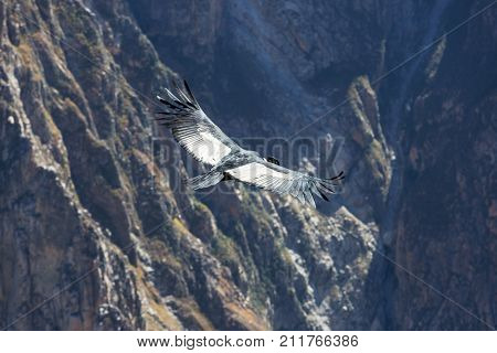 Flying condor in the Colca canyon,Peru