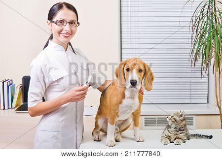 Veterinarian, kitten Scottish Straight and Beagle dog