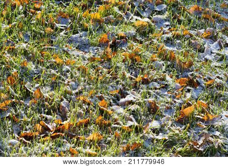 Leaves in snow on grass in autumn with early snowfall in morning sun. Early winter background.