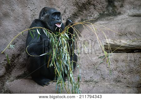 Western gorilla eating a bough in a zoological garden