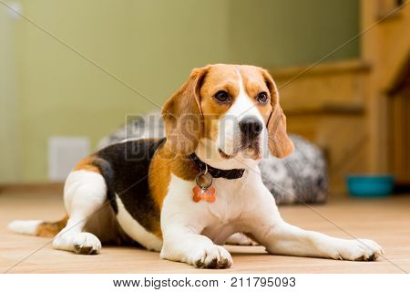 Dog of the Beagle breed aged 2 years lies on the floor