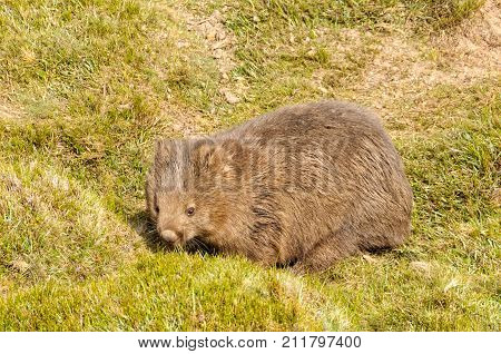Common wombat in the Cradle Mountain-Lake St Clair National Park - Tasmania, Australia