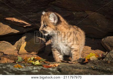 Female Cougar Kitten (Puma concolor) Looks Left Under Rock Ledge - captive animal