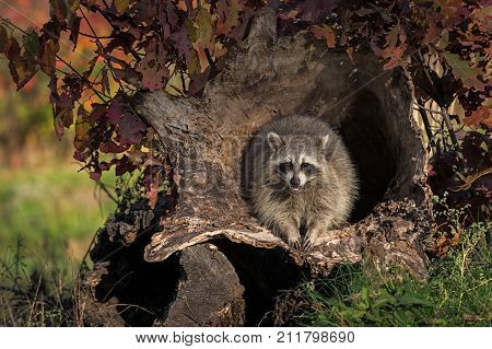 Raccoon (Procyon lotor) Looks Forward From Within Log - captive animal