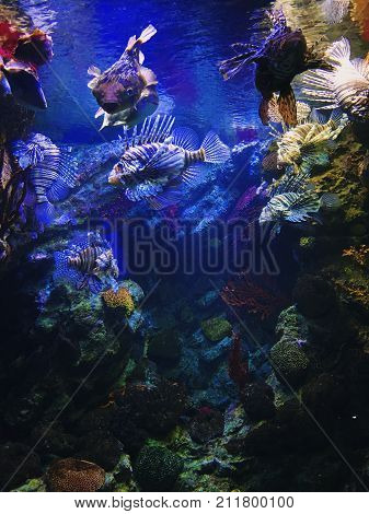 Exotic tropical Devil firefish, or common lionfish Pterois miles , in Two Oceans Aquarium.
