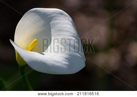 Pristine Calla Lily or Zantedeschia species illuminated by the sun.
