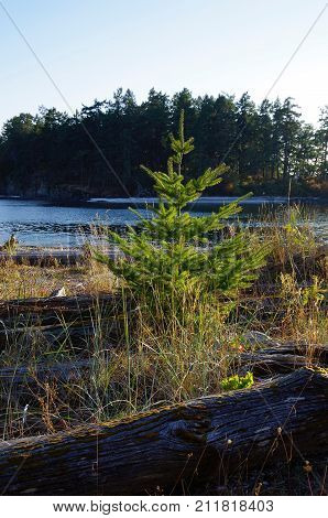 A Christmas tree sized Douglas Fir grows between weathered driftwood logs on the Shell Beach Portland Island BC. Brackman Island is behind.