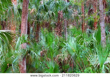 Palmetto fronds blanket the forest at Highlands Hammock State Park in Florida